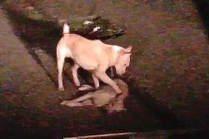 Thổn thức trước khoảnh khắc chú chó nhỏ cố gắng lay gọi 'người bạn' đã chết trong tuyệt vọng