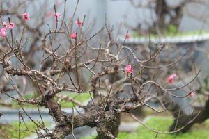 Đào cổ Nhật Tân đã được cho thuê hàng chục triệu đồng mỗi gốc