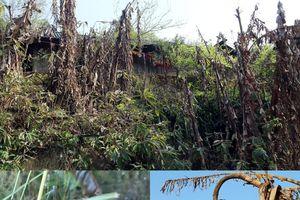 Cây cối ở vùng biên Nghệ An chết khô sau khi băng tan