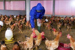 Nông dân Đức Thọ nuôi 'gà đi bộ' thu hàng trăm triệu đồng