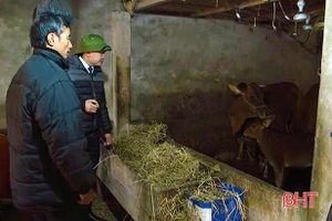 Xuất hiện dịch viêm da nổi cục trên bò, Cẩm Xuyên ban hành công điện khẩn