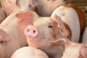 Giá lợn hơi hôm nay 14/1: Tại nhiều địa phương giá hướng tới mức 80.000 đồng/kg
