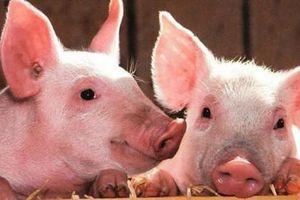 Giá lợn hơi hôm nay 14/1/2021: Tiếp tục đà tăng 1.000-2.000 đồng/kg trên cả nước