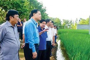 Mở rộng vùng sản xuất giống lúa 'ngon nhất thế giới'