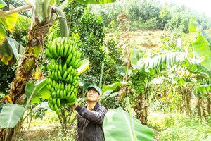 Xã Thành Sơn: Tập trung chăm sóc chuối Tết