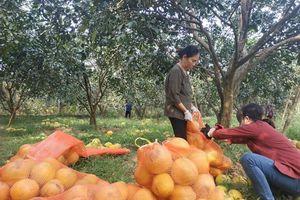 Thị trường cam, bưởi cuối năm: Được mùa... giá thấp