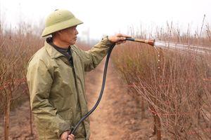 Đào Nhật Tân có nguy cơ mất mùa vì rét đậm kéo dài