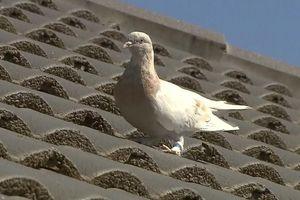 Chim bồ câu tên Joe Biden có thể thoát án tử tại Australia