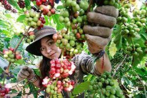 Giá cà phê hôm nay 15/1: Duy trì ngưỡng 32 triệu đồng/tấn