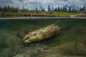 Hải ly cứu sống cả hệ sinh thái nhờ bản năng sinh tồn