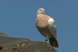 Giới chức Australia đau đầu với chú chim bồ câu 'bay lạc' từ Mỹ