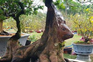 Cận cảnh cây khế thế 'lạ' hình đầu chuột ngộ nghĩnh