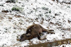 Rét đậm, rét hại gây thiệt hại nặng nề, hơn 2.000 con gia súc, gia cầm bị chết