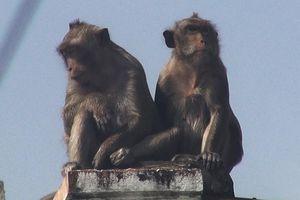 5 chú khỉ trong đàn khỉ 'đại náo' khu dân cư giờ ra sao?
