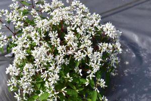 Loại hoa mới xuất hiện đã hút khách