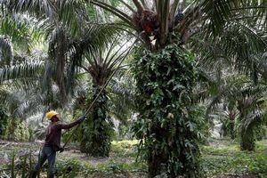 Malaysia lên kế hoạch kiện EU xung quanh tranh cãi về dầu cọ