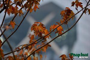 Hàng cây phong trên đường Trần Duy Hưng đổi màu