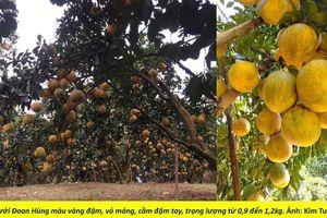 Hương vị Đất Tổ lắng trong những trái Bưởi Phủ Đoan