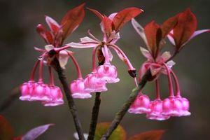 Bà Nà đẹp lạ mùa hoa đào chuông khoe sắc dịp cuối năm