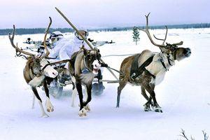 Học theo Nga, quân đội Na Uy tính dùng tuần lộc làm phương tiện chiến đấu