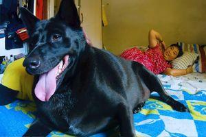Chó đen siêu mập ngủ chung với chủ