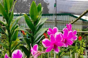Dân trồng lan ở Sài Gòn thấp thỏm lo hoa nở không kịp Tết