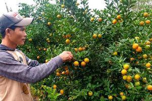Quảng Nam: Người dân trồng quất cảnh thất thu