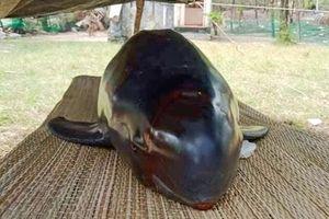 Cá heo nặng 50 kg dạt bờ biển