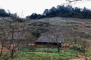Hôm nay sẽ có hướng dẫn khai thác cây đào trồng ở vùng cao