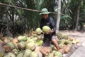 Lao đao vùng trồng cam đặc sản