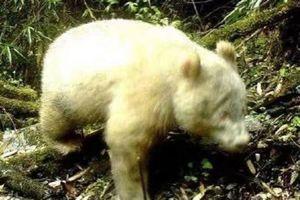 Lạ lùng hình ảnh gấu trúc trắng trong lần tái xuất hiếm hoi ở Trung Quốc
