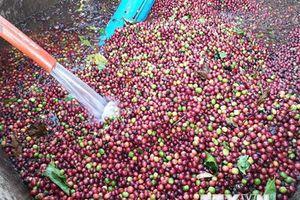 Sấy cà phê tươi gây ô nhiễm môi trường, một cơ sở bị xử phạt 52 triệu đồng