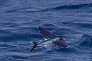 Bí ẩn nơi có loài cá 'thần', vừa biết bơi vừa biết bay trên mặt nước