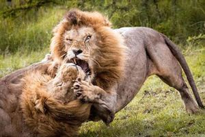 Sư tử đực lao vào nhau cấu xé điên cuồng tranh giành quyền thống trị