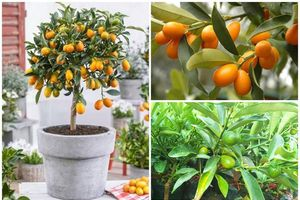 Độc đáo quất Mỹ bonsai giá 'chát' hút khách chơi Tết