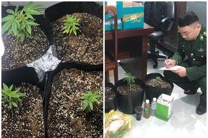 Vụ bắt quả tang đối tượng trồng cần sa tại nhà: Thiếu niên đặt 'hạt giống' qua Facebook
