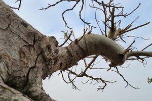 Ngắm cây sung thế lạ chờ đại gia ngã giá tiền 'khủng' mang về chơi Tết