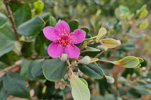 Khám phá nét đẹp lặng lẽ của hoa Sim ven vườn Quốc gia Cát Tiên