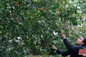 Người Mường ở Phả Ban thu nhập ổn định từ cây quýt hôi