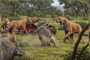 Không ngờ đây mới là lý do khiến loài 'sói' săn cả voi ma mút tuyệt chủng