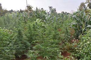 Phát hiện trồng hơn 250 cây cần sa trong rẫy vắng