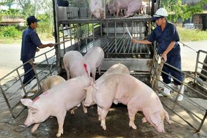 Giá lợn hơi hôm nay 20/1: Tiếp tục tăng 1.000 - 2.000 đồng/kg