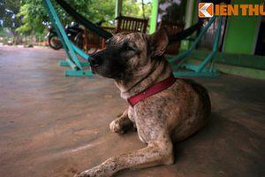 Chuyện khó tin về nguồn gốc giống chó Phú Quốc huyền thoại