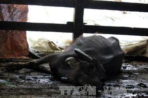 Nhiều trâu, bò ở Kon Tum chết vì rét