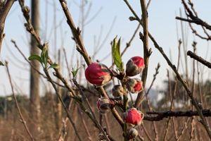 Đào được mùa, người dân Nhật Tân mong chờ một vụ mùa bội thu