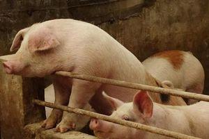Giá lợn hơi hôm nay 20/1/2021: Nhiều địa phương đã chạm ngưỡng 86.000 đồng/kg