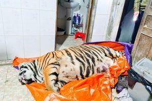 Chủ nhà mua hổ 250 kg về nấu cao đã ra đầu thú