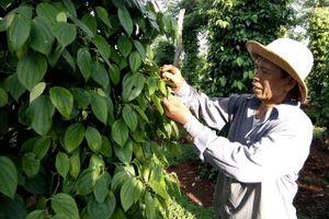 Giá tiêu hôm nay 21/1: Gần 20 năm đứng số 1 thế giới, đâu là giải pháp bền vững cho ngành tiêu Việt?