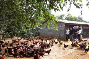 Thu nhập cao từ nuôi gà thả vườn