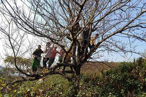 'Đào rừng' khó về xuôi: Dân buôn bỏ cuộc, người trồng lo